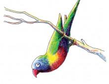 Rainbow Lorrikett
